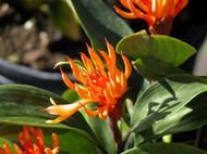 "Dwarf Golden Brush Ginger - Burbidgea scheizocheila - 6"" Pot -Collector's Series"