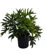 "Hirt's Gardens® Lickety Split Philodendron - Easy to Grow House Plant - 8"" Pot"