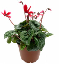 """Fragrant Deep Pink Miniature Cyclamen Plant -Winter Blooming House Plant- 5"""" Pot"""