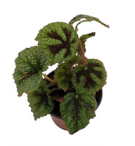"Iron Cross Begonia Plant - 2.5"" Pot - Great House Plant"