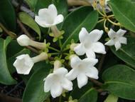 "Madagascar Jasmine Plant - Stephanotis/Bridal Wreath - 6"" White Ceramic Pot"