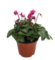 "Purple/White Mini Persian Violet - Cyclamen -Winter Blooming House Plant- 5"" Pot"