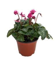 "Purple & White Miniature Cyclamen Plant -Winter Blooming House Plant- 5"" Pot"