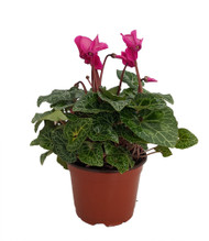 "Purple Miniature Persian Violet - Cyclamen - Winter Blooming House Plant- 5"" Pot"