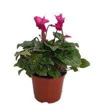 "Purple Miniature Cyclamen Plant -Winter Blooming House Plant- 5"" Pot"
