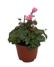 "Light Salmon Pink Miniature Cyclamen Plant -Winter Blooming House Plant- 5"" Pot"