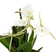 """Lady of the Night Fragrant Orchid-Brassavola nodosa-5x6"""" Plaque-Collector Series"""