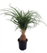 """Guatemalan Red Ponytail Palm - Beaucarnea - 4"""" pot - Collector's Series"""