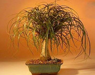 "Guatemalan Red Ponytail Palm - Beaucarnea - 4"" pot - Collector's Series"