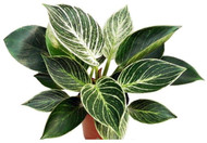 """Rare White Veined Birkin Philodendron - From Our Collector's Series - 4"""" Pot"""