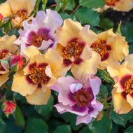 In Your Eyes™ Shrub Rose Bush - Multi-Colored - Bareroot