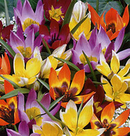 Wildflower Mix Tulip 64 Bulbs - Very Hardy - Naturalizes - 6/+ cm Bulbs