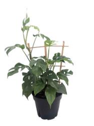 "Ultra Rare Mini Monstera Philodendron - Rhapidophora tetrasperma -8"" Pot/Trellis"