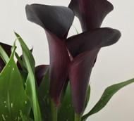 Montevideo Supreme Calla Lily Bulb 14/16cm - Dark Purple