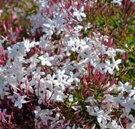 "Pink Jasmine Plant - Jasminum polyanthum - Fragrant - 6"" Pot - Live Plant"