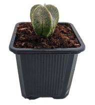 "Bishop's Hat Cactus - Astrophytum myriostigma - 3"" Pot - Trending Succulent"
