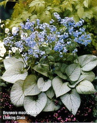 "Looking Glass Brunnera macrophylla - Silver Leaf - SHADE - 4"" Pot"