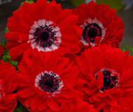 "Harmony Double Scarlet Anemone Perennial - 4"" Pot"