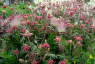 "Prairie Smoke Geum Perennial - Attracts Hummingbirds - 4"" Pot"