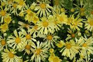 "Mammoth Yellow Daisy Chrysanthemum - 4"" Pot - Extremely Hardy"