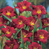 Pardon Me Daylily - Hemerocallis - Deep Red - Rebloomer -  Quart Pot
