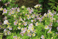 "Apricot Delight Jacob's Ladder - Polemonium carneum - 4"" Pot"
