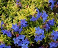 "Gold 'N Sapphires Lithodora diffusa - Hardy Perennial - 4"" Pot"