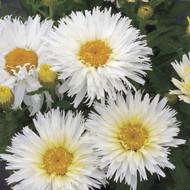 "Belgian Lace Shasta Daisy Perennial - Leucanthemum superbum - 4"" Pot"