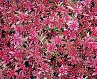 """Coral Carpet Sedum - Stonecrop - 4"""" Pot - Loves the Sun - Outdoor/Fairy Garden"""