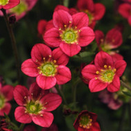 "Rocco Red Rockfoil Perennial - Saxifraga arendsii - 4"" Pot"