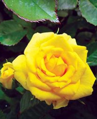 "Parade Cho Miniature Rose - Double Yellow Blooms - 4"" Pot"
