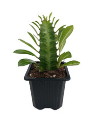 "Green African Milk Tree - Euphorbia trigona - Easy to grow - 3"" Pot"