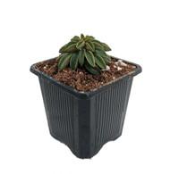 "Wolfgang Krahnii Peperomia - 3"" Pot  - Easy to Grow Houseplant - Trending"