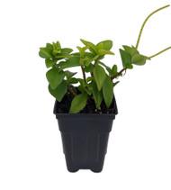 """Amigo Marcello Peperomia - 3"""" Pot  - Easy to Grow Houseplant"""