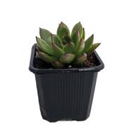"""Hirt's Red Tip - Echeveria agavoides - Lipstick Desert Rose Succulent- 3"""" Pot"""