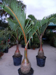 "Bottle Palm - Hyophorbe lagenicaulis - 12"" Pot - 60"" Tall!"
