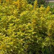 "Golden Alexander Loosestrife Perennial - Lysimachia punctata - 4"" Pot"