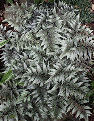 "Giant Godzilla Japanese Painted Fern - Athyrium - Shade Lover - Hardy - 3"" Pot"
