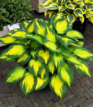 "Forbidden Fruit Hosta - Collector's Series - None Other Like It. - 4"" Pot"