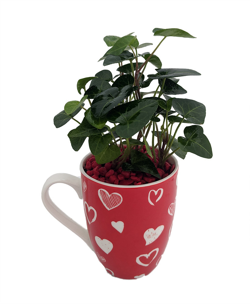 Easy Plants 1 English Ivy Climber Plant in Pot /& Red Heart Valentines Day Present