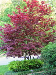 Bloodgood Japanese Maple - Bonsai or Outdoors - Acer palmatum - One Quart Pot
