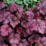 "Amethyst Mist Coral Bells - Heuchera - Shade Perennial - 3"" Pot"