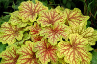 "Red Lightning Coral Bells - Heuchera - Shade Perennial - 3"" Pot"