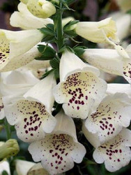 "White Candy Mountain Foxglove - Digitalis -  Foxglove! - 3"" Pot"