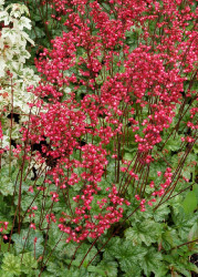 "Paris Coral Bells - Heuchera - Shade Perennial - 3"" Pot"