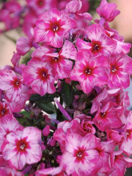 "Fireworks Hardy Tall Phlox - Cherry Red and White - 3"" Pot"