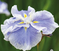 "Dinner Plate™ Ice Cream Japanese Iris - New for 2020 - 4"" Pot"
