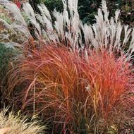 "Fire Dragon Ornamental Grass Perennial - Miscanthus - 3"" Pot"