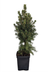 Dwarf Alberta Spruce - Picea glauca 'Conica' - Very Hardy - Quart Pot