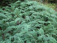 Rare Siberian Cypress - Microbiota decussata- Quart Pot